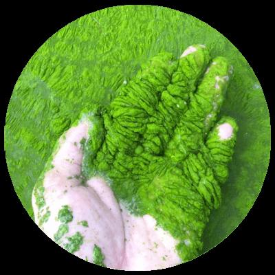 Algi - skuteczne na cellulit.